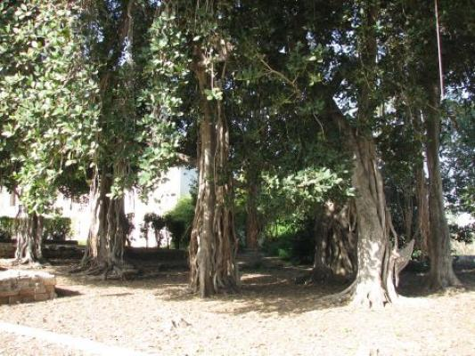 פיקוס בנגלי
