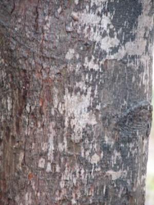 פלינדרסיה אוסטרלית