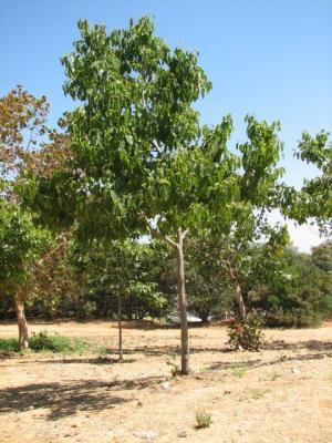עץ הצימוקים היפני