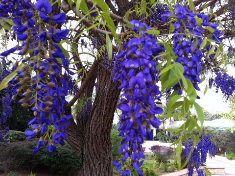 בולוסנטוס נאה \ עץ הויסטריה